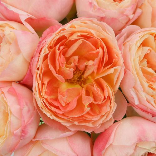 Southern Comfort Peach Garden Roses up close