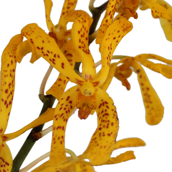 Speckled Sunset Mokara Orchid