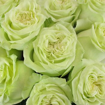 Spring Green Bulk Roses Up Close