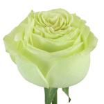 Spring Green Bulk Rose Stem