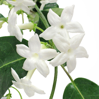 Stephanotis Wedding Vine