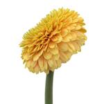 Gerrondo Daisies Yellow Bronze Flower