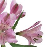 Stratus Pinky Lavender alstroemeria Wholesale Stem Close up