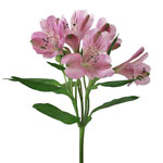 Stratus Pinky Lavender alstroemeria Wholesale Flower Stem