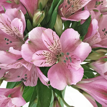 Stratus Pinky Lavender Alstroemeria Wholesale Flower Up close