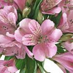 Stratus Pinky Lavender Alstroemeria Wholesale Flower Up close