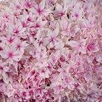 Strawberry Blush Hydrangea Wholesale Flower Up close