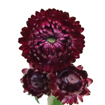 Bulk Purpleberry Fresh Cut Straw Flower