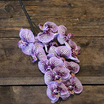 Tiger Striped Purple Orchids