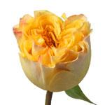 Summer Shandy Garden Rose Stem