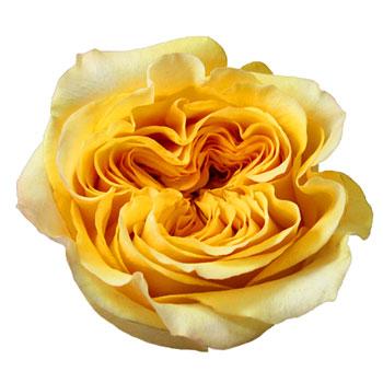 Summer Shandy Garden Roses up close