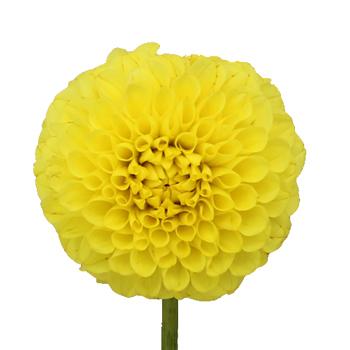 Dahlia Flower Sunny Yellow