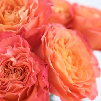 Sunset Garden Roses up close