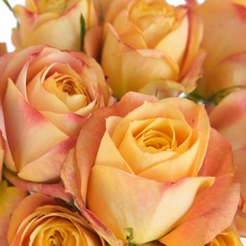 Sunset Romantico Garden Roses up close
