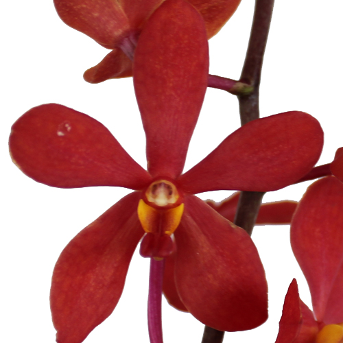Sunset Rust Mokara Orchid