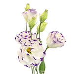 Lisianthus Flower White and Purple