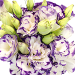 Super Magic Purple and White Lisianthus Wholesale Flower Upclose