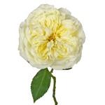 Sweet Cream Garden Rose Stem