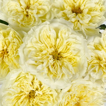Sweet Cream Garden Roses up close