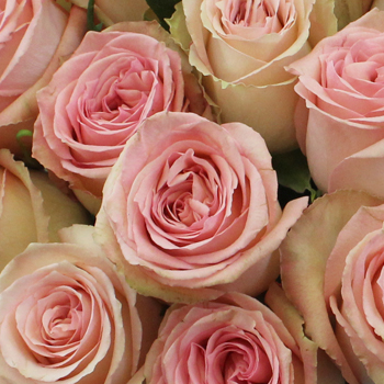 Sweet Elegance Bicolor Rose
