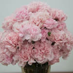 Sweet Pink Carnation Flowers In a vase