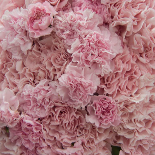 Sweet Pink Wholesale Carnations Up close