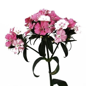 Sweet William Pink and White Flowers