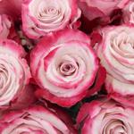 Sweetberry Lavender Fresh Cut Rose Up Close