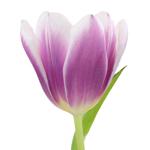 Synaeda Purple and White Tulip Wholesale Flower Up close