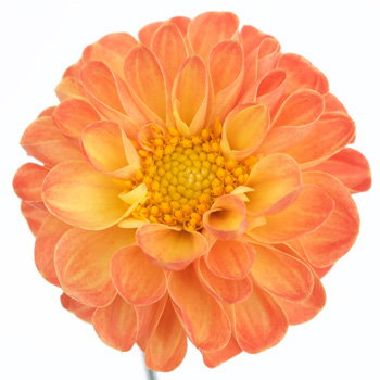Tangerine Yellow Dahlia Flower