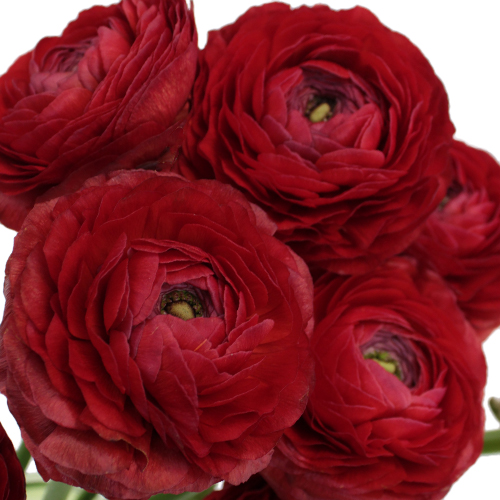 Fire Red Italian Cloony Ranunculus