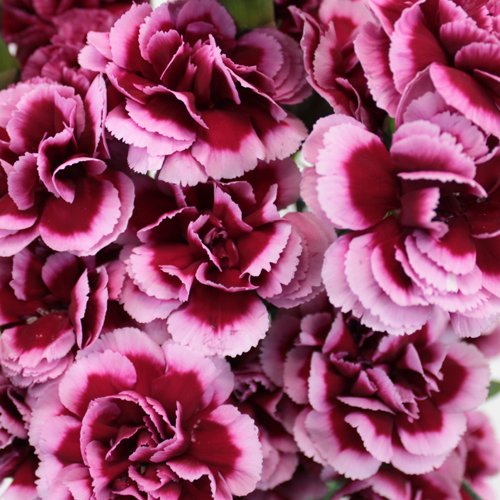 Chameleon Pink Mini Carnation Flower
