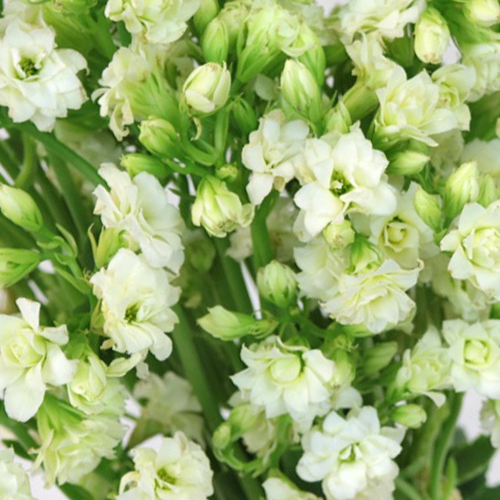 Bulk White Meadow Kalanchoe