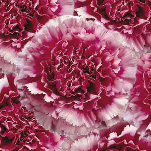 Tenderly Bicolor Dark Pink and White Wholesale Carnations Up close