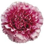 Tenderly Bicolor Dark Pink and White Carnations bloom