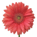 Gerbera Daisy Terra Ezia Coral Flower Up close