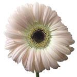 Gerbera Daisy Terra Rochel Blush Wholesale Flower Up close