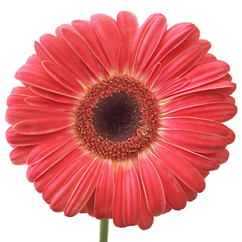 Gerbera Daisy Terra Zapiro Coral Wholesale Flower Up close