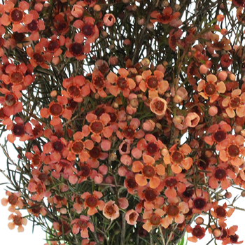 Spanish Orange Enhanced Wax Flowers May 16th to November 30th Delivery