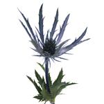 Thistle_Blue_Fresh_Flower