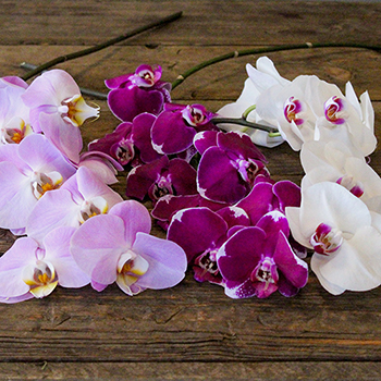 Farm Mix Traditional Phalaenopsis Orchids