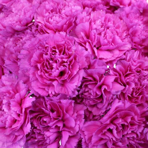 Tiepolo Fuchsia Wholesale Carnations Up close