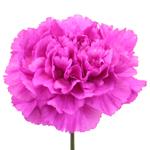 Tiepolo Fuchsia Carnations bloom