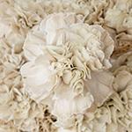 Maka Wholesale Carnation Flower