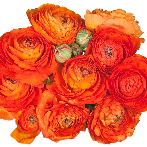Tomato Red Ranunculus Fresh Cut Flower