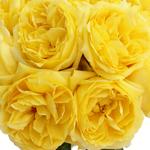 Yellow Garden Roses up close