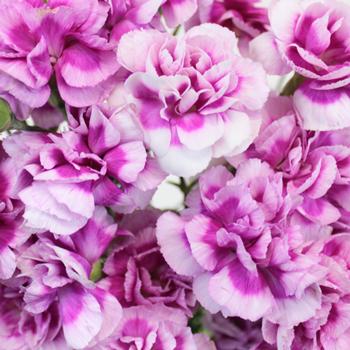 Trendy Mini Wholesale Carnations Up close