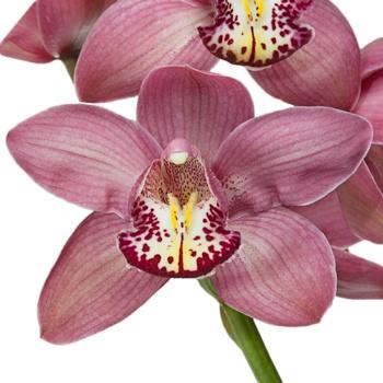Pink Cymbidium Orchids Burgundy Lip