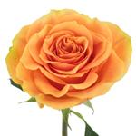 Tropical Bellini Garden Rose Stem