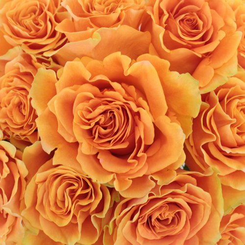Tropical Bellini Garden Roses up close